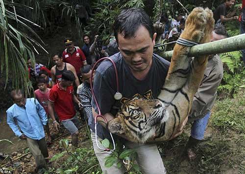 harimau sumatera pesisir selatan sumbar
