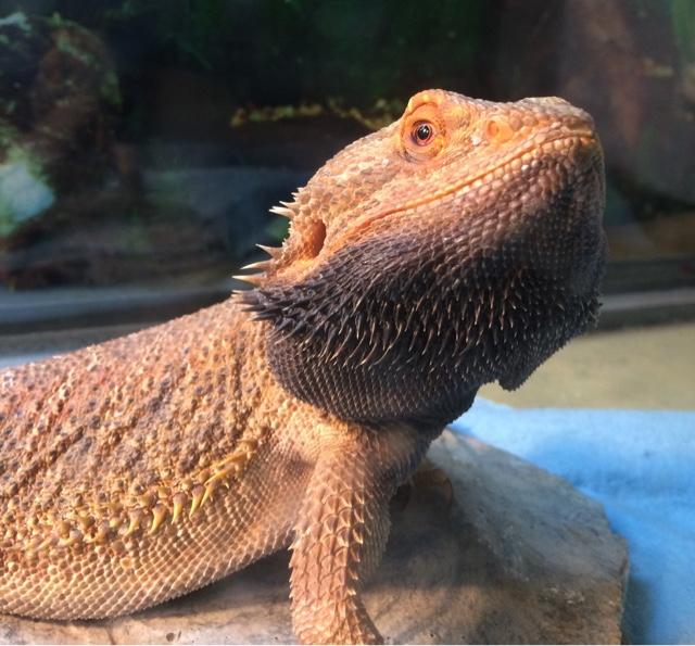 Sarah's Bearded Dragon Rescue: Black Beard Beginnings