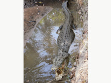 wildlife-crocodile-4.jpg