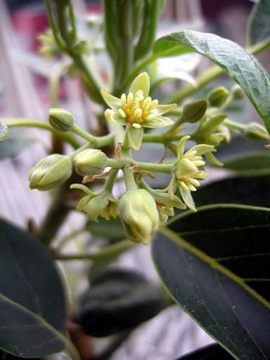 Tropicamente forum for Avocado coltivazione