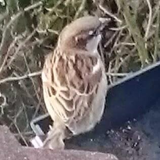 London Sparrow