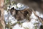 2009/3/29この頃、僕らの山(実は300ha、標高805m~1600mと非常に広い)の中でも、ごく近いエリアで幼児と木登りに行く森に、カモシカが毎日いて、それはそれは楽しかった。木登りの森とういう呼び名がカモシカの森になり初めていた。 これは、このエリアで母親ビッグママと行動しているニャンニャン(生後11ヶ月)。知らぬ間に目の周りが黒くなっている。春に生まれた仔は、秋には顔が黒く見え始め、2才近くまで、黒っぽい。(この山の場合) しかし、その他の体毛の感じは大人のそれに近づいた。幼子から、逞しい少年になった感じを受けた。(もっとも、私には性別はわからないが・・・)