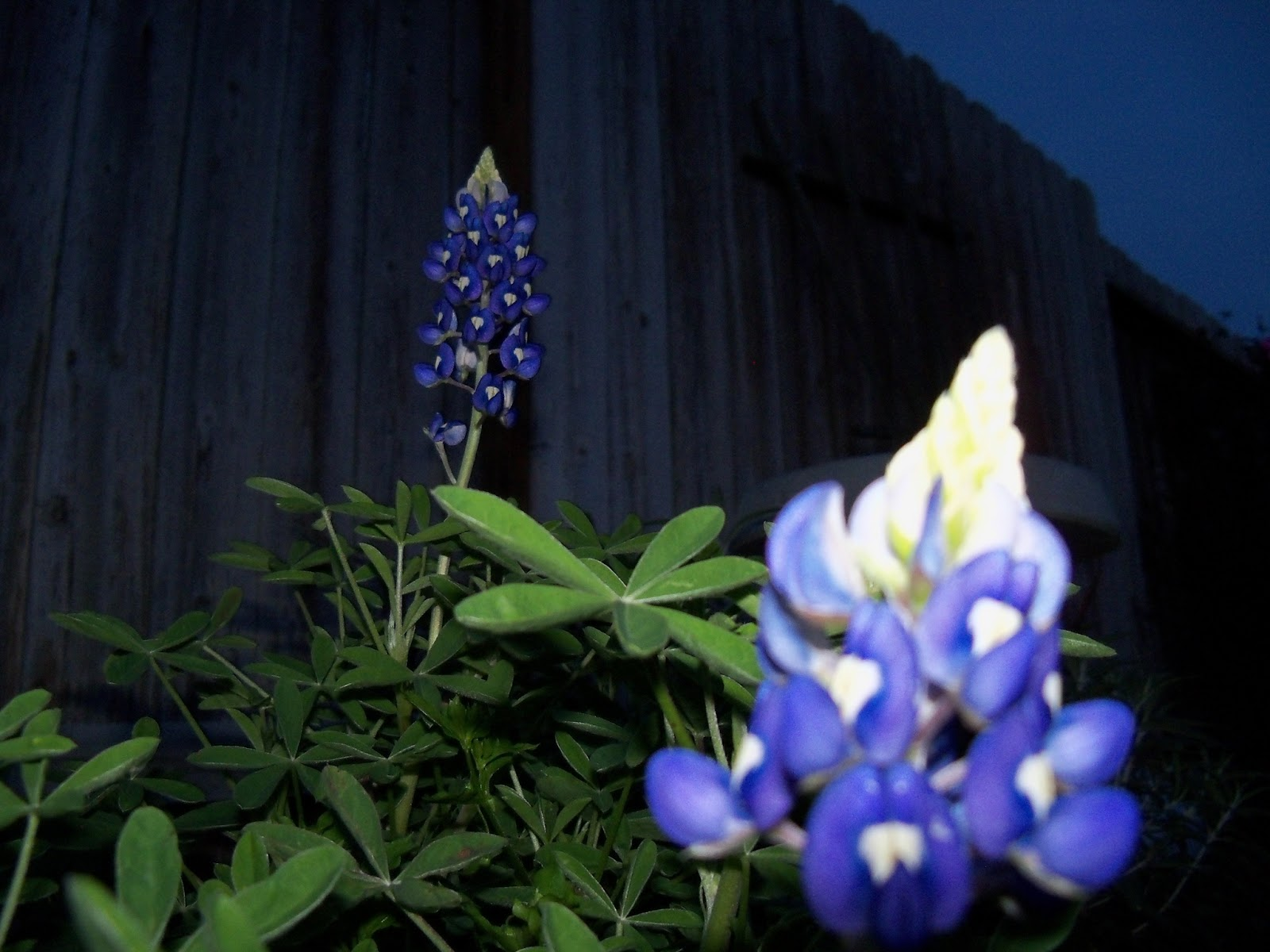 Gardening 2012 - 115_1203.JPG