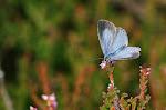 Skovblåfugl på lyng.jpg