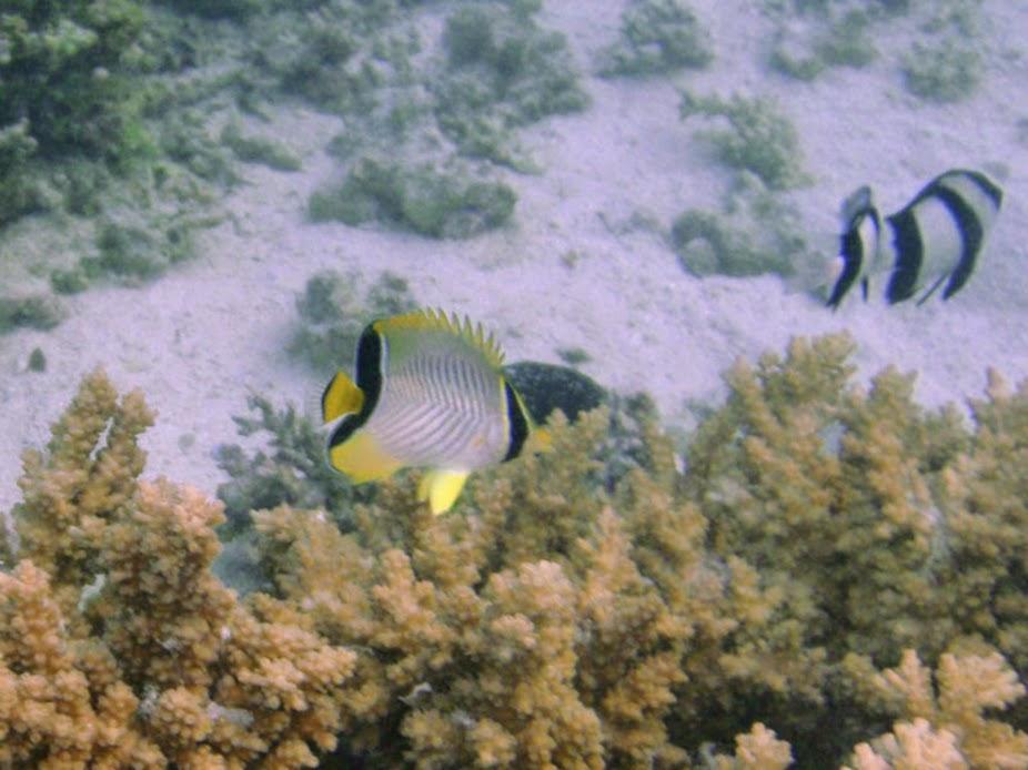 Chaetodon trifascialis (Juv. Chevron Butterflyfish), Aitutaki.