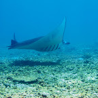 Manta at Makassar Reef, Komodo National Park