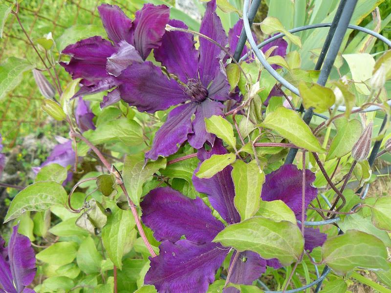 Des floraisons au jardin ... - Page 2 P1030404