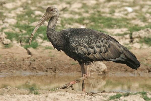 El ibis gigante