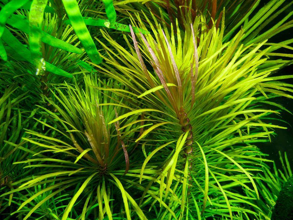 Эустралиус звездчатый (Эустралис махровый) (Pogostemon stellatus)
