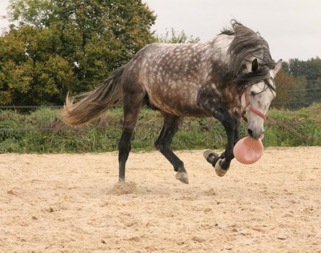 "Concours : ""cheval au galop"" GAGNANTE : TItâne - Page 2 294058_2243478078784_1003053802_32514868_647948407_n"