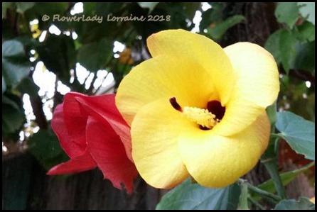 02-21-hibiscus-tree