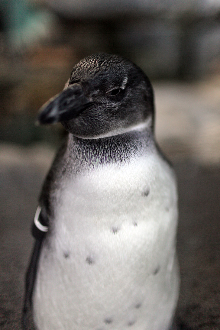 African Black Footed Penguin {Monterey Aquarium CA}.