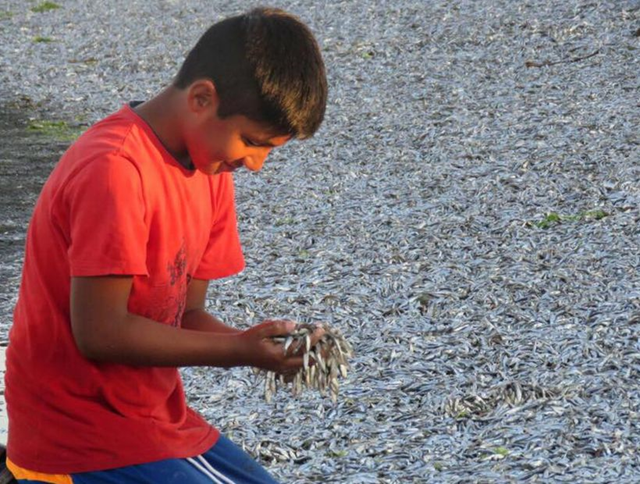 A boy in the village of Aucho in Quemchi, Chile, scoops dead fish from a huge kill of millions of sardines, 26 January 2017. Photo: Soy Chile
