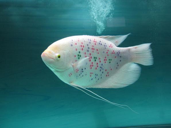 Cá Phát Tài