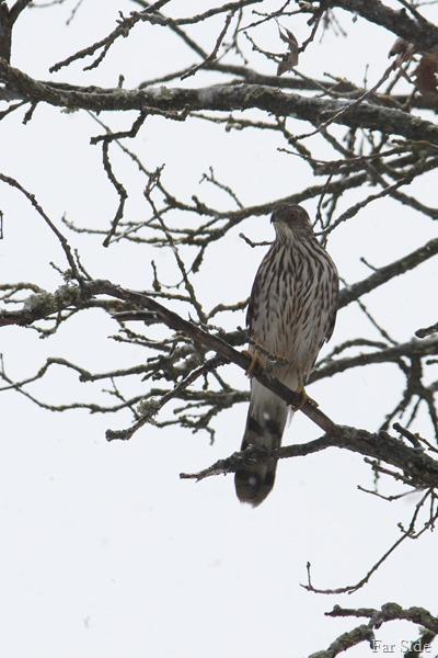 a hawk (2)
