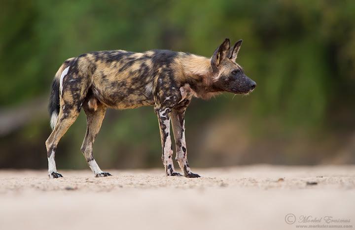 wilddog_profile_3_ManaPools_2012.jpg
