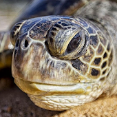 Sea Turtle Jigsaw Puzzles Android APK Download Free By Kapustos
