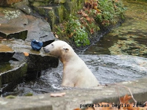Photo: Knut holt sich den zurueckgeworfenen Ball zurück ;-)