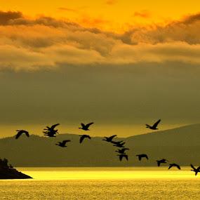 Salish Sea Sunrise by Campbell McCubbin - Landscapes Sunsets & Sunrises ( dawn, islands, ocean, sunrise, salish sea, geese,  )