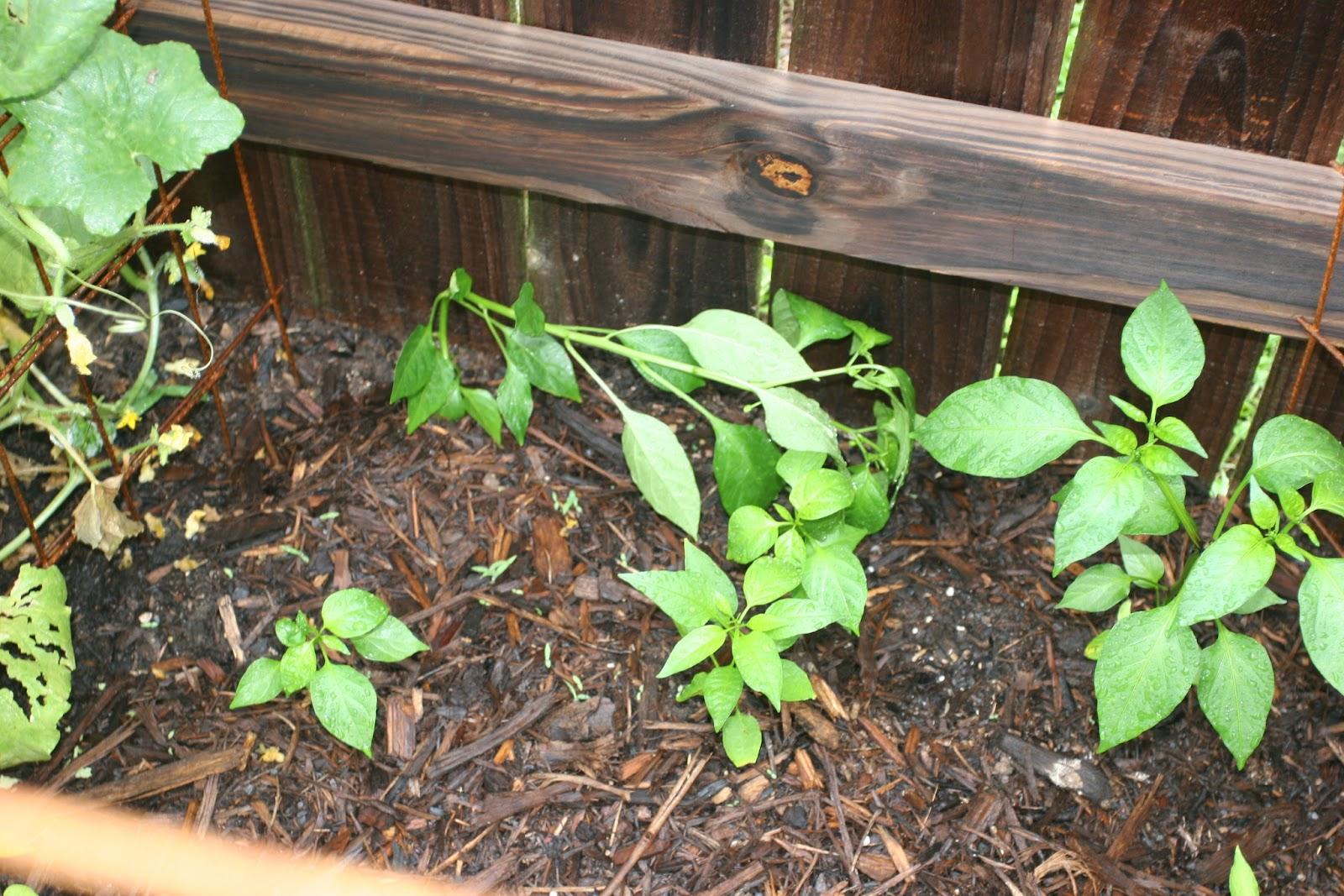 Gardening 2012 - IMG_3529.JPG
