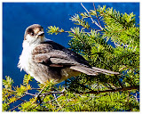 """""""Bird in Fir Tree"""" by Ed Marx -- 3d place A General"""