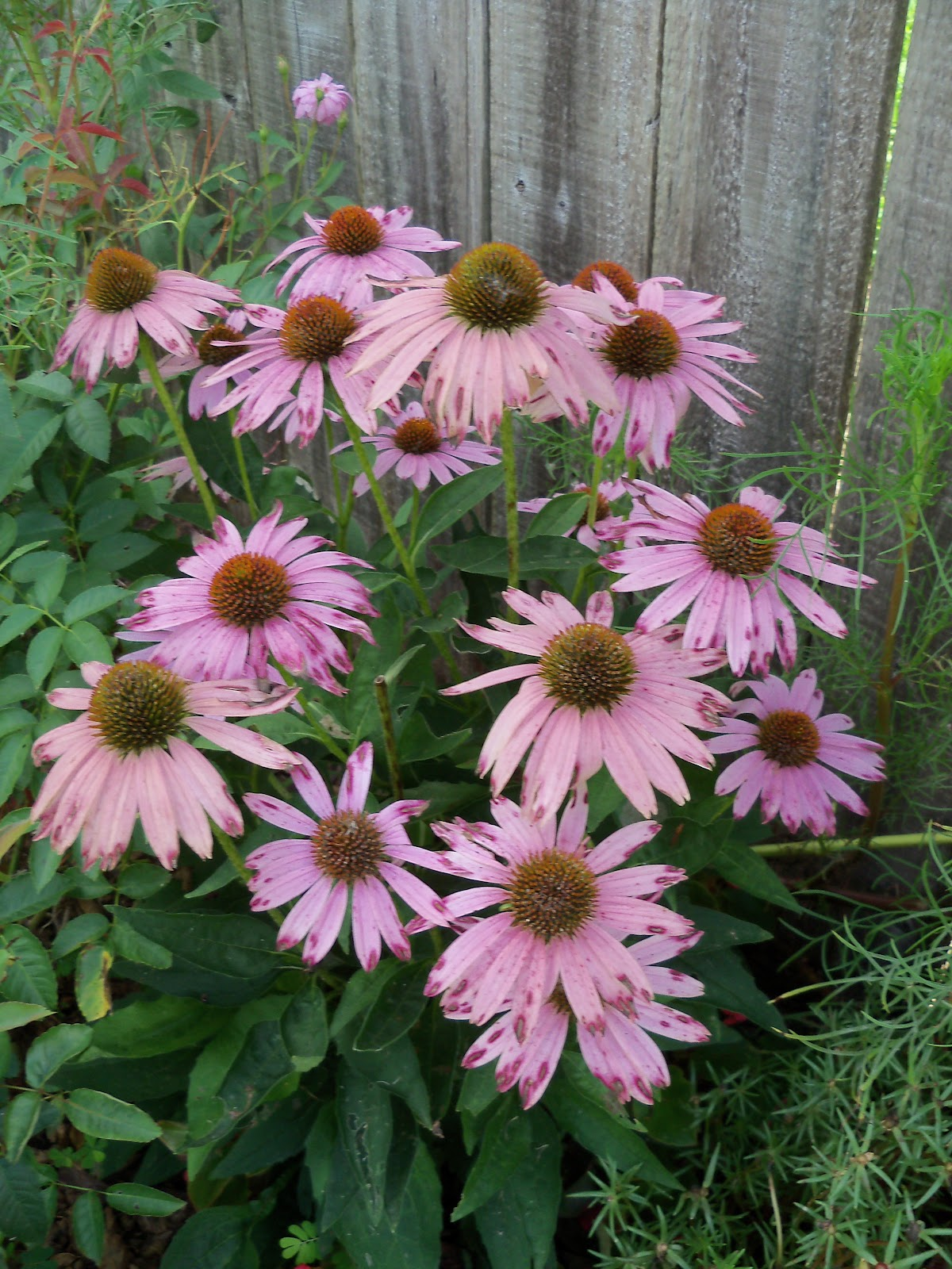 Gardening 2010, Part Three - 101_4994.JPG