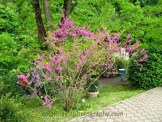 Redbud bush in flower-Cercis canadensis
