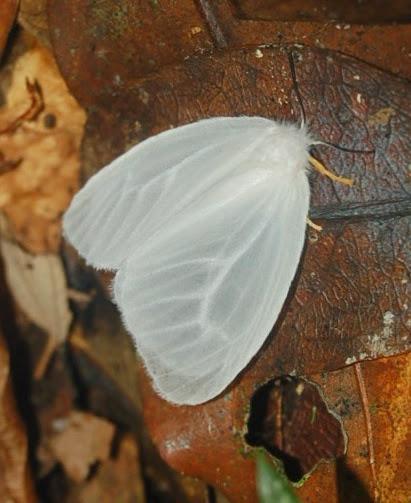 Lymantriidae. Parc d'Andasibe-Mantadia (Madagascar), 28 décembre 2013. Photo : T. Laugier