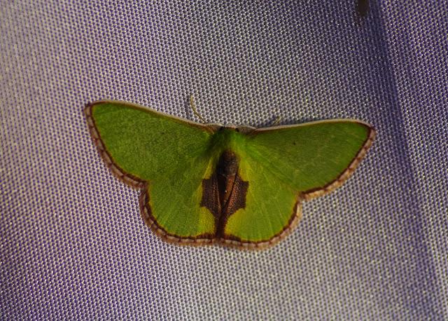 Synchlora astraeoides (Warren, 1901). Mount Totumas, 1900 m (Chiriquí, Panamá), 22 octobre 2014. Photo : J.-M. Gayman