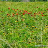 05-26-14 Texas Wildflowers - IMGP1389.JPG