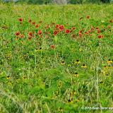 05-26-14 Texas Wildflowers - IMGP1389.JPG