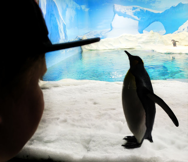Watching a Penguin at Sea World (Gold Coast, Australia)