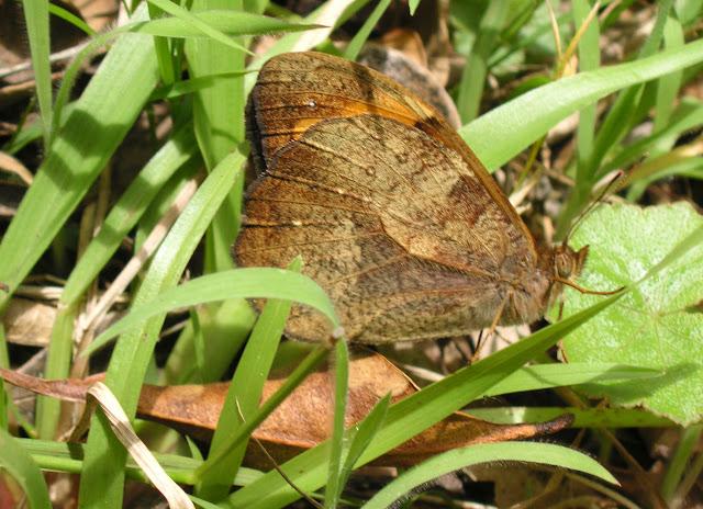 Heteronympha mirifica (BUTLER, 1866), mâle. Gerringong (NSW), 14 décembre 2008. Photo : J. Michel