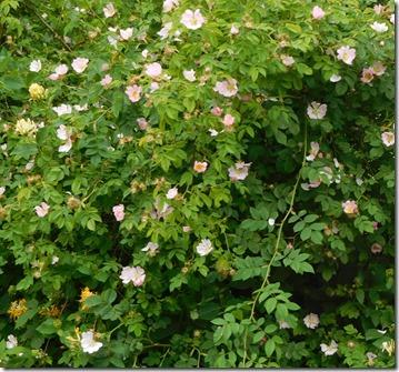 1 wild roses