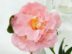 淡桃色 八重 獅子〜二段咲き 旗弁が混じる 極大輪