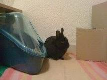 [adopté] Mica, lapin noir Mica9-d6754