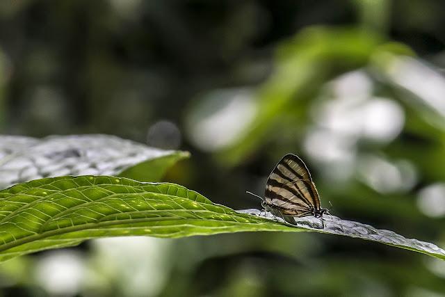 Arawacus separata (Lathy, 1926). Bosque Bavaria (Villavicencio, Meta, Colombie), 9 novembre 2015. Photo : B. Lalanne-Cassou