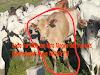 Alto Alegre dos Parecis- Aproximadamente 46 cabeças de gado nelore foram furtados em Fazenda