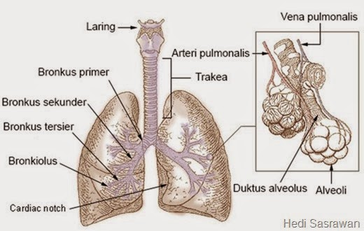 Anatomi Paru Paru Artikel Lengkap Hedi Sasrawan