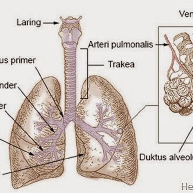 Sumber Belajar Anatomi Paru Paru Artikel Lengkap