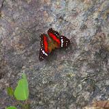 Anartia amathea amathea (L., 1758). Las Juntas, 1600 m (Carchi, Équateur), 4 décembre 2013. Photo : J.-M. Gayman
