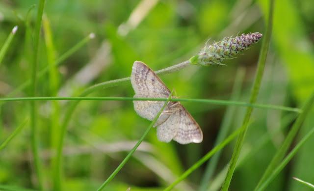 Geometridae : Sterrhinae : Idaea humiliata (HUFNAGEL, 1767). Les Hautes-Lisières (Rouvres, 28), 6 juillet 2012. Photo : J.-M. Gayman