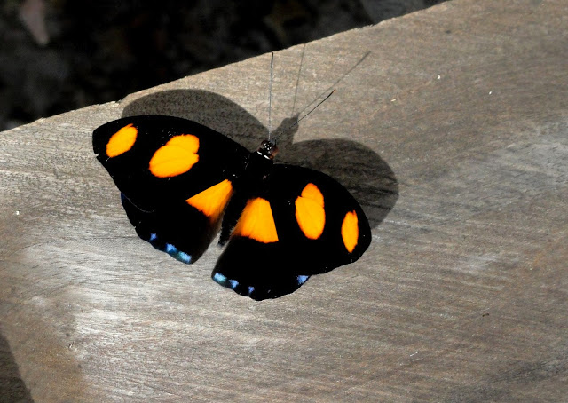 Catonephele numilia penthia (HEWITSON, 1852). Colider (Mato Grosso, Brésil), avril 2011. Photo : Cidinha Rissi