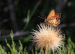 Markperlemorsommerfugl, Argynnis aglaja.jpg