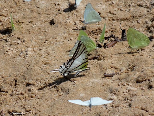 Protesilaus glaucolaus leucas (ROTHSCHILD & JORDAN, 1906). Pieridae : Ascia monuste orseis (GODART, 1819), mâle (blanc), Rhadbodryas trite (L., 1758), mâle (vert). Rive du Rio Teles Pires, município de Nova Canaã do Norte (Mato Grosso, Brésil), 16 juillet 2011. Photo : Cidinha Rissi