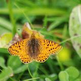 Boloria pales palustris FRUHSTORFER, 1909. Fex Curtins, 1980 m (Grisons, CH), 10 juillet 2013. Photo : J.-M. Gayman