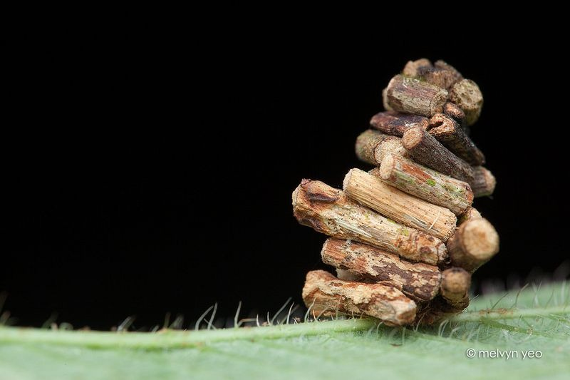 bagworm-moths-case-6
