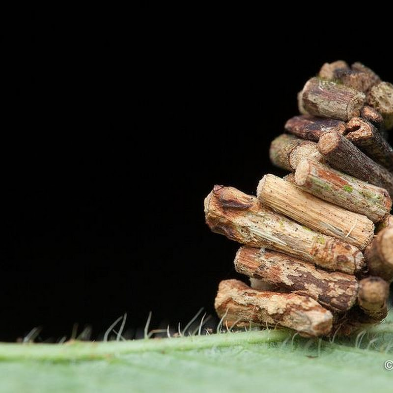 'Log House' Like Cocoon of The Bagworm Moth