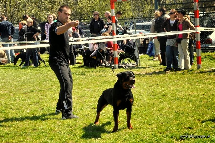 Rottweiler na wystawie międzynarodowej