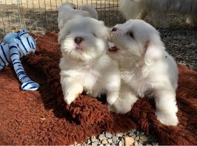 chiots coton de tuléar